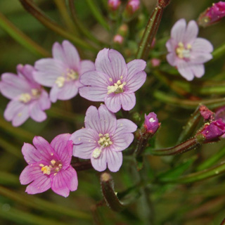 Cum ajuta pufulita cu flori mici in tratarea ulcerului si a hepatitei