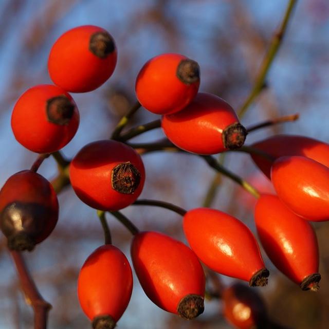 Macesele, cea mai utilizata planta in medicina naturista